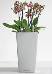 Orchid in Self-Watering Pot