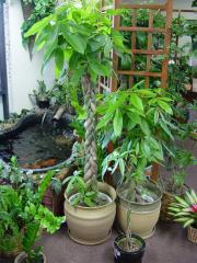 Pachira (Money Tree) Plant
