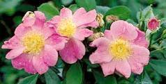 Basyes Blueberry Roses