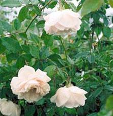 Madame Alfred Carriere Roses