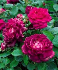 Reine des Violettes Roses