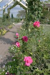 Thomas Affleck Roses