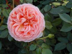 Abraham Darby (Auscot) Roses