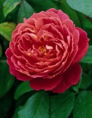Benjamin Britten (Ausencart) Roses