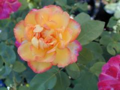 Golden Princess Roses