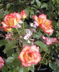Betty Boop (Pat #11,517) Roses