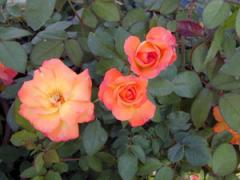 Bengal Tiger (PP#14,048) Roses