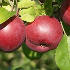 Apple 'McIntosh'