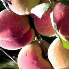 Peach 'Belle of Georgia'