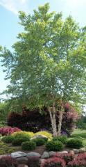 Birch River (clump) Betula nigra