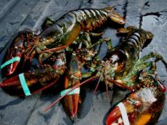 1 1/2 Pound Live Maine Lobster