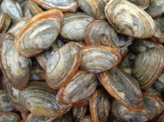 Steamer Clams- Clean, fresh and grit-free