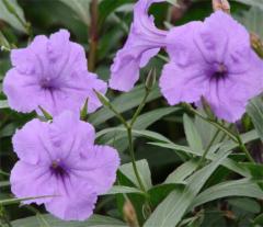 Ruellia brittoniana Purple Showers