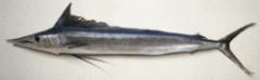 Hebi (Shortbill Spearfish)
