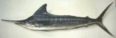 Nairagi (Striped Marlin)