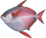 Opah (Moonfish)
