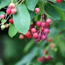 Amelanchier x grandiflora - Serviceberry
