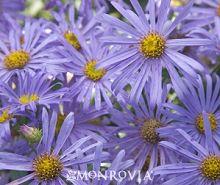 Aster novae-angliae - New England Aster 'Purple Dome'