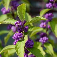 Callicarpa dichotoma - Beautyberry