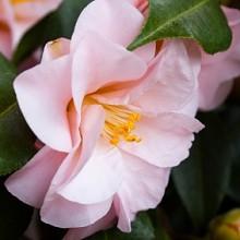 Camellia sasanqua - Fall Camellia