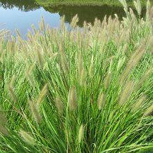 Ornamental Grasses - Many Varieties