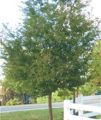 Prunus subhirtella 'Autumnalis' - Autumnalis Cherry
