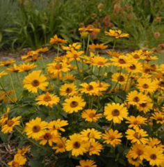 Heliopsis helianthoides 'Tuscan Sun'