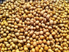 Tofu Soybeans