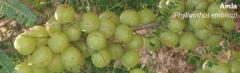 Amla Indian Gooseberry Extract