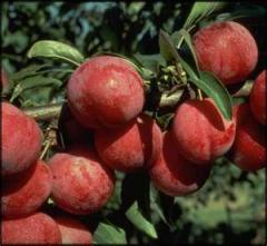 Satsuma Plum Fruit Trees
