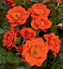 All A'Twitter, Miniature Rose