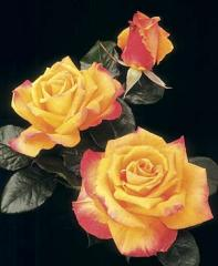 Chris Evert Hybrid Tea Rose