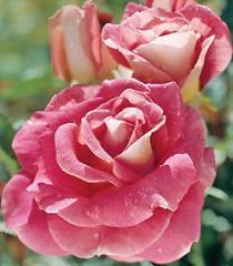 Change of Heart Roses
