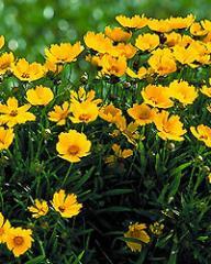 Coreopsis Perennials