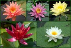 Hardy Lilies