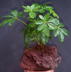 Lava Rock Bonsai Plant