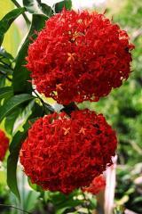 Super King Ixora Plant
