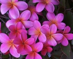 Iao Sunset Plumeria Plant