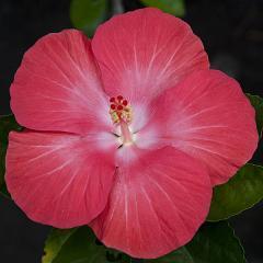 Hibiscus Plants