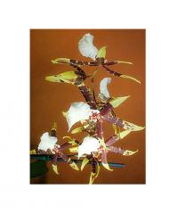 Brassia Orchid Plant