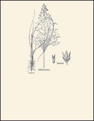 Blowoutgrass