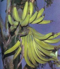 African Rhino Horn banana