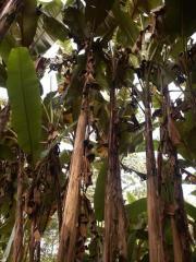 Itinerans var gigantea banana