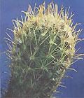 Globular cactus