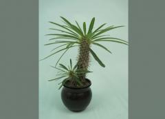 Madagascar Palm Cactus