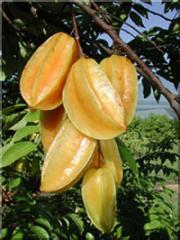 Carambola –Starfruit