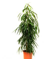 Alii Ficus