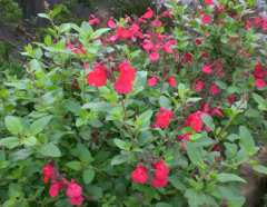 Gregii Salvia
