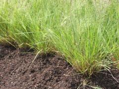 Eragrostis spectabilis - Purple Lovegrass