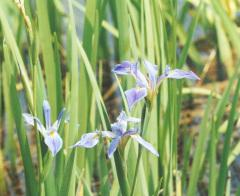 Iris hexagona